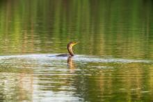 Cormorant In The Pond