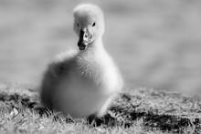 Ducks In The Grass