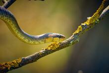 Zamenis Longissimus - Snake Climbs On A Tree Branch