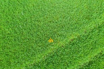 Pole uprawne porośnięte młody, zielonym zbożem. Zdjęcie z drona.