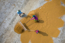 Aerial View Of Farmers Working On Rice Field Draining And Drying Rice At Sunlight, Dhamrai, Dhaka, Bangladesh.