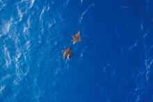 Aerial View Of Two Manta Ray Swimming Freely In The Blue Ocean Near Alifu Dhaalu Atoll, Alif Alif, Maldives.