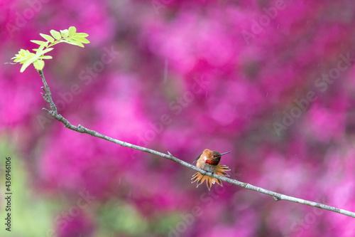 Fototapeta premium Rufous Hummingbird bird