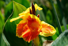 Blooming Canna Or Canna Lily (Latin - Canna)