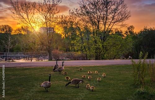Valokuva Goose Family Eating At Sunrise