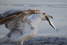 Gull Eating A Small Fish After Stealing It From Another Gull. Gulping It Down Fast On Evening Light