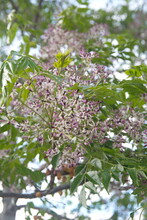 Blossom Of Melia Azedarach, Ornamental Decorative Tree, Commonly Known As The Chinaberry Tree, Pride Of India, Bead-tree, Cape Lilac, Syringa Berrytree, Persian Lilac, Indian Lilac
