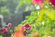 枯れたバラ・満開なバラ・蕾のバラが並ぶ光景