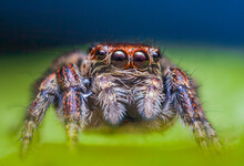 Female Jumping Spider Evarcha Falcata Close Up Portrait