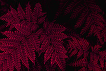 Full Frame Of Purple Leaves Texture Background. Tropical Leaf