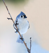 Tufted Titmouse Standing On Tree Branch In Winter Snow