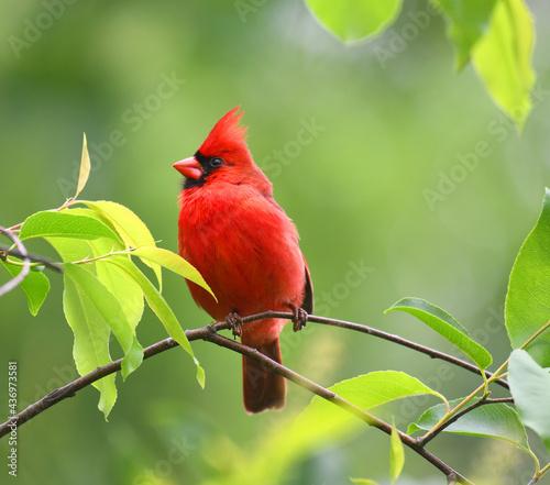 Fotografija red cardinals standing on the spring green tree branch