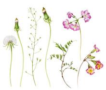 A Set Of Watercolor Illustrations. Primrose Flowers, Dandelions, Peas And Capsella.