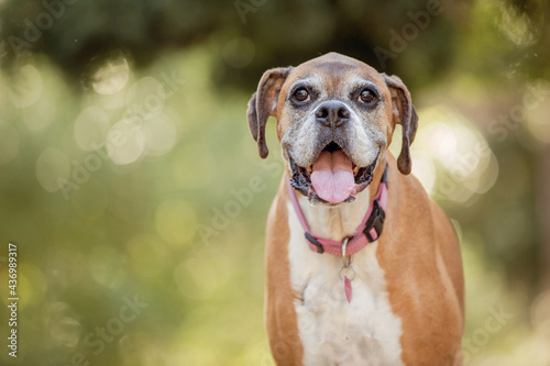 Old boxer dog in the forest