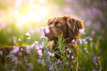 Brown Dog In Meadow With Flowers