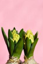 Yellow Common Hyacinth