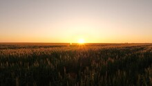 A Field Of Ripening Wheat In Morning At Sunrise. Agricultural Business Concept. Environmentally Friendly Wheat. Spikelets Of Wheat With Grain Shakes Wind. Grain Harvest Ripens In Summer.