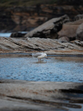 A Seagull Drinking Water From The Sea Shore.