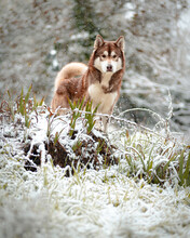 Cute Siberian Husky Standing On Snowy Ground During Snowfall