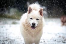 Adorable White Swiss Shepherd Dog Standing On Snowy Ground