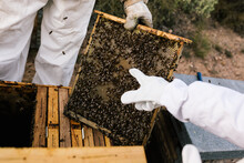 Unrecognizable Beekeeper Holding Frame Of Honeycombs With Bees