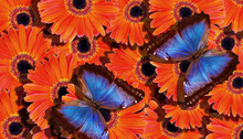Bright Summer Background. Blue Tropical Morpho Butterflies On Bright Orange Gerbera Flowers. Colorful Gerbera Flowers And Butterflies Texture Background.