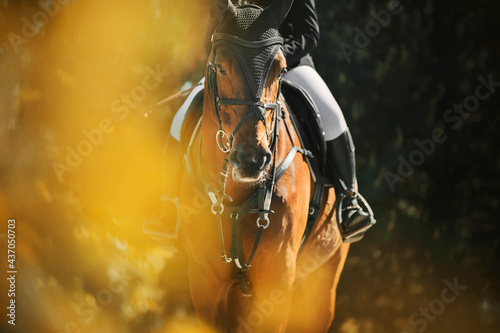 A beautiful bay horse with a rider in the saddle walks on a summer day among the foliage of trees, illuminated by sunlight Fototapeta