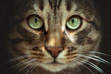 Cat, Animal, Eyes, Pet, Feline, Kitten, Fur, Cute, Face, Domestic, Eye, Portrait, Kitty, Green, Pets, Tabby, Whiskers, Look, Mammal, Gray, Hair, White, Head, Cats, Closeup, Adorable, Background, Beaut