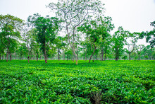 Tea Garden Green View At Day From Flat Angle