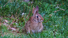 Close-up Of Cottontail Rabbit Hiding In Grass