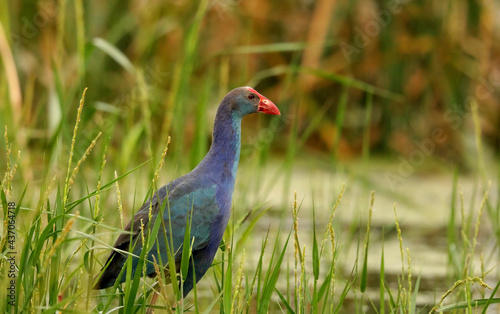 Purple Swamphen in marsh- Porphyrio porphyrio, Begur Lake, Bangalore Outskrits, Karnataka, India