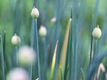 Onion Closed Flowers On The Blue Green Blur Background