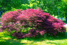 Sweeping Branches Of A Dwarf Japanese Maple Tree Covering The Grass Below It