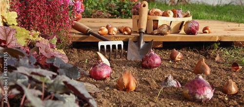Foto Plantation de bulbes de tulipes et de jacinthes en automne