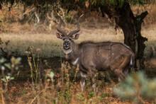 Mountain Nyala - Tragelaphus Buxtoni, Beautiful Large Antelope Endemic In Bale Mountains, Ethiopia.