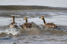 Baby Half Grown Canada Geese Goslings Playing In Lakefront Water On A Birght Sunny Day. Riding Waves, Preening And Eating Water Plants