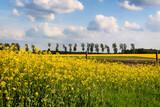 Fototapeta Na sufit - Rzepakowe pola, Podlasie, Polska