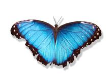 Papillion Bleu Couleur Cyan Intense Ailes Ouverte  Sur Fond Blanc Avec Ombre