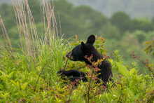 Young Black Bear Smelling A Berry Bush