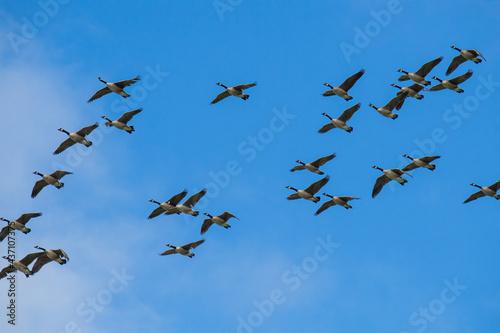 Obraz na płótnie A skein of geese in flight with a bright blue sky