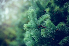 Natural Background With Spruce Branches. Young Spruce Branch