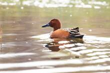 Male Cinnamon Teal Backlit At Malheur Pond