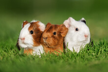 Three Little Guinea Pigs Sitting In A Row Outdoors In Summer