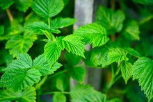 Fresh Young Leaves On Raspberry Bushes