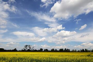 Piękny widok żółty rzepak na polu uprawnym.