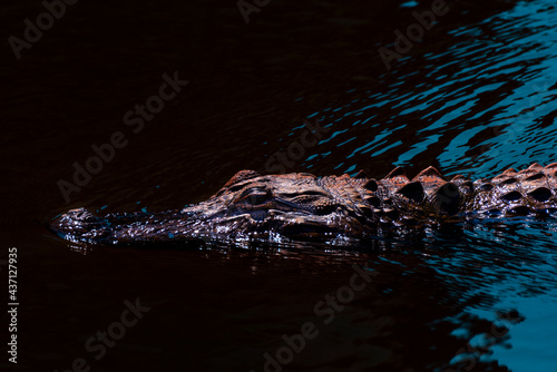 Fototapeta American Alligator Floating in D'Olive Creek in Daphne, Alabama
