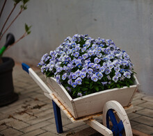 Blumen, Veilchen, Lila, Weiß, Schubkarre, Pflanzschale