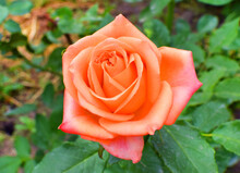 Blooming Beautiful Orange Bush Roses In The Garden. Spring Flower In Green Leaves