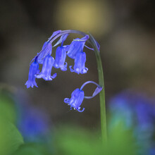 Bluebell Defused Background
