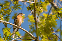 American Robin Framed In A Beautiful Spring Setting In A Tree